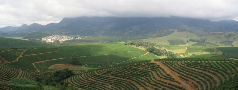 A Coffea arabica plantation in São João do Manhuaçu, Minas Gerais, Brazil
