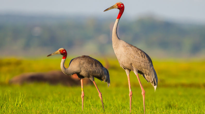 nilgai, blue bull antelope, northern shoveler, sarus crane, brown headed barbet, white throated kingfisher, Delhi NCR, wildlife preserves, national parks