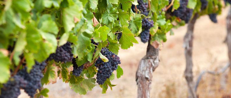 Napa Valley, American Viticulture Area, California, United States of America, USA, Kendall Jackson, Sauvignon Blanc, Stag's Leap, Cabernet Sauvignon