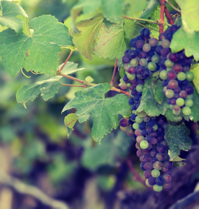 Soma Vineyards, Wine Grapes